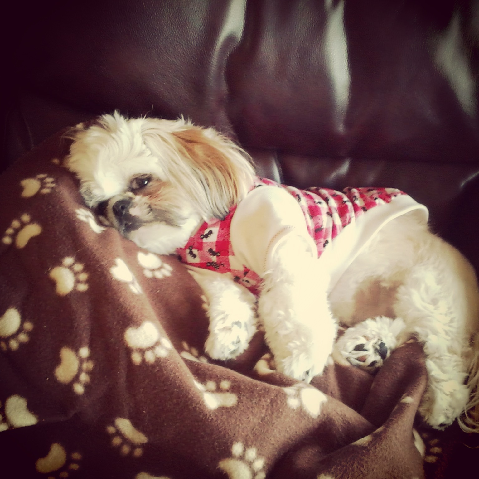 shih tzu pet sitting