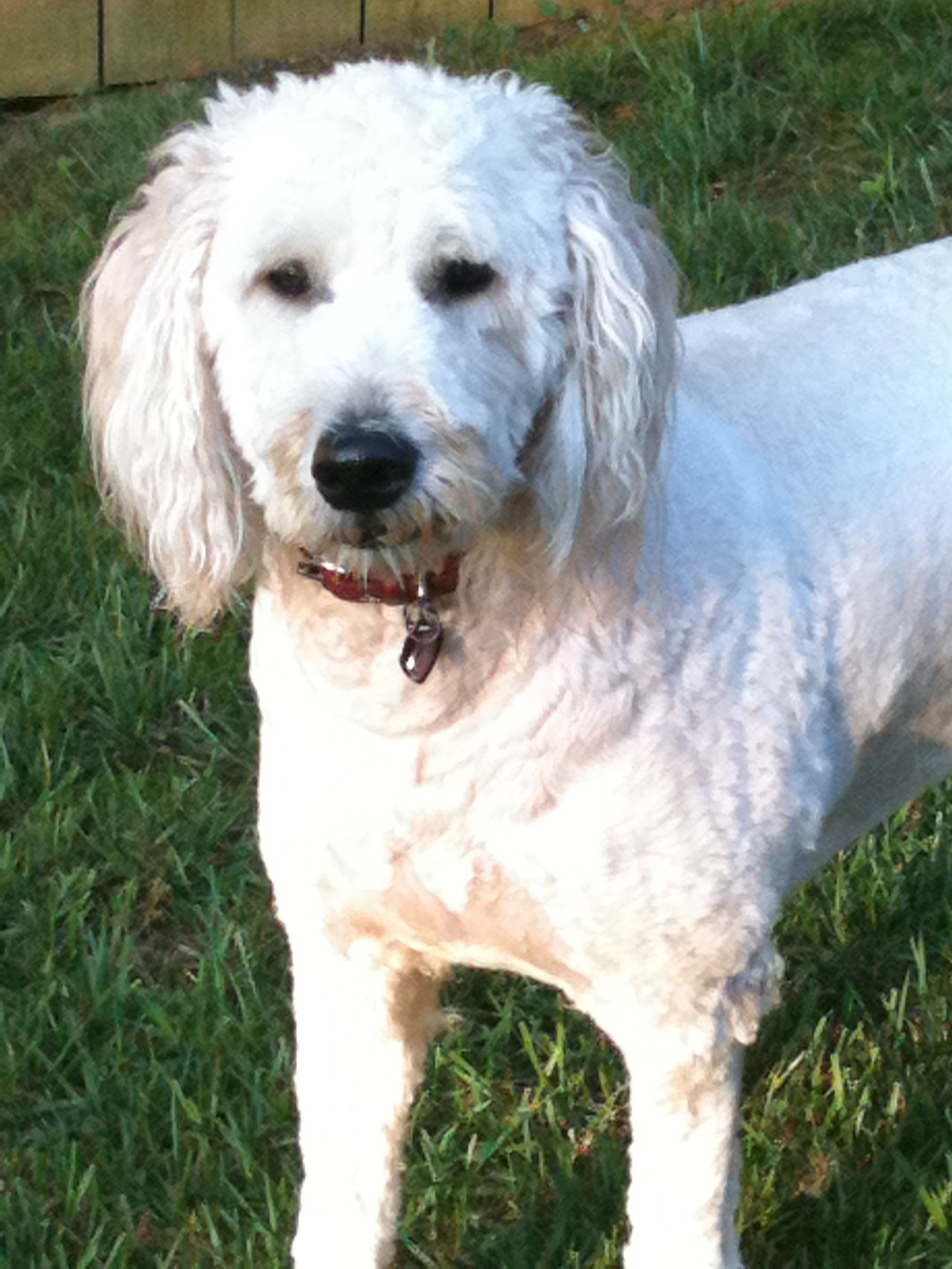 goldendoodle pet sitting