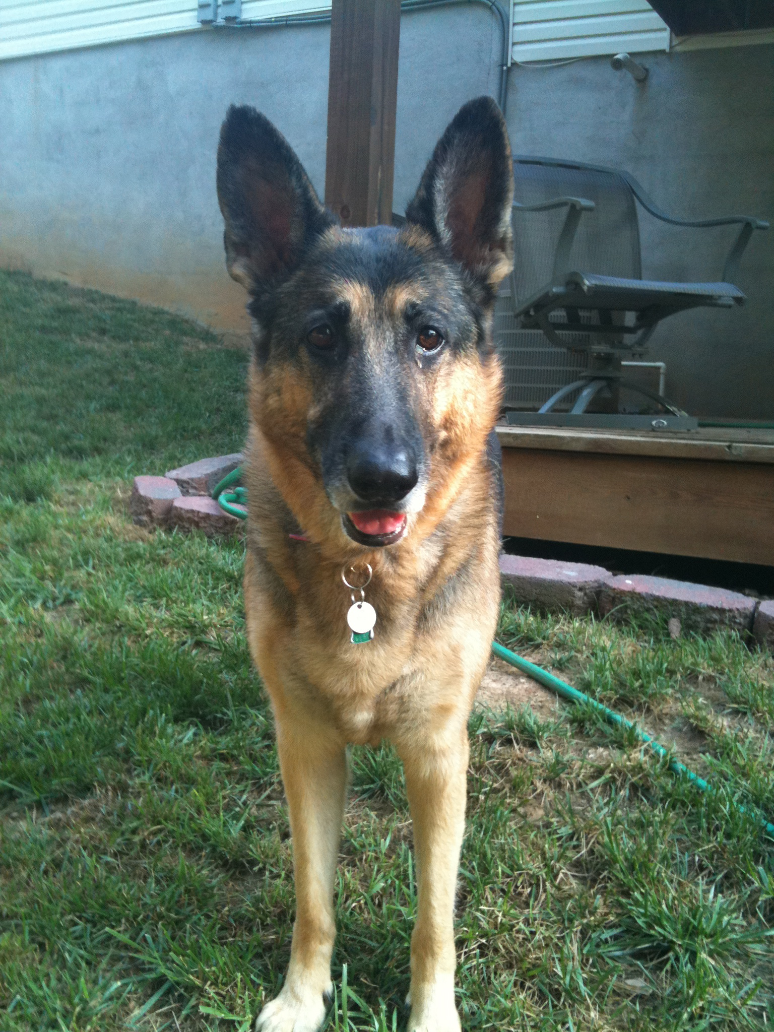 pet sitting german shepherd